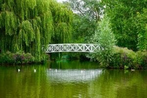 st neots pond with bridge and willow trees