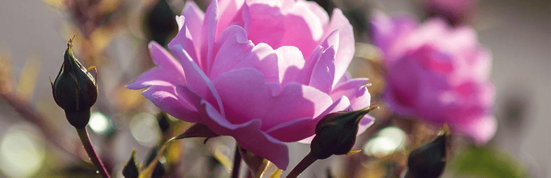 Weybridge Rose